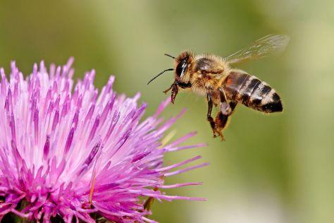 1280px-Honeybee_landing_on_milkthistle02